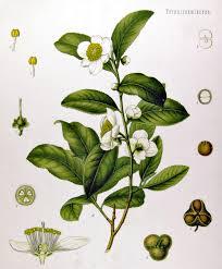 Camelia sinensis planta del té