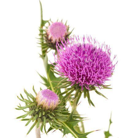 Flor de cardo mariano